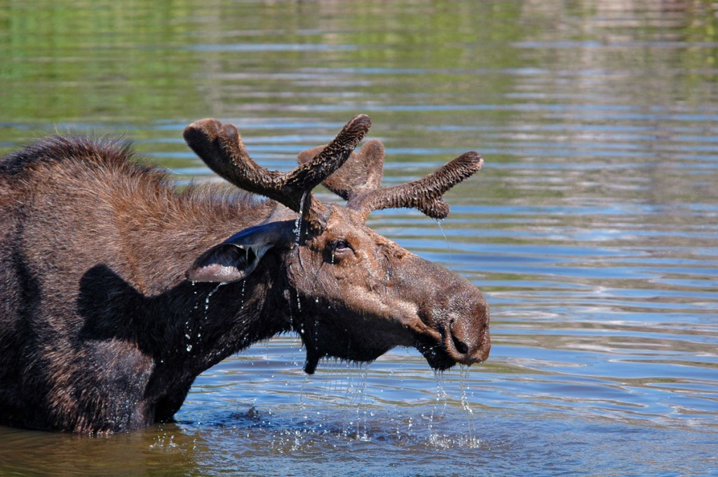 Moose - Grand Tetons National Park