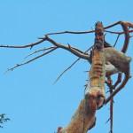 Cedars of God, Jesus Tree