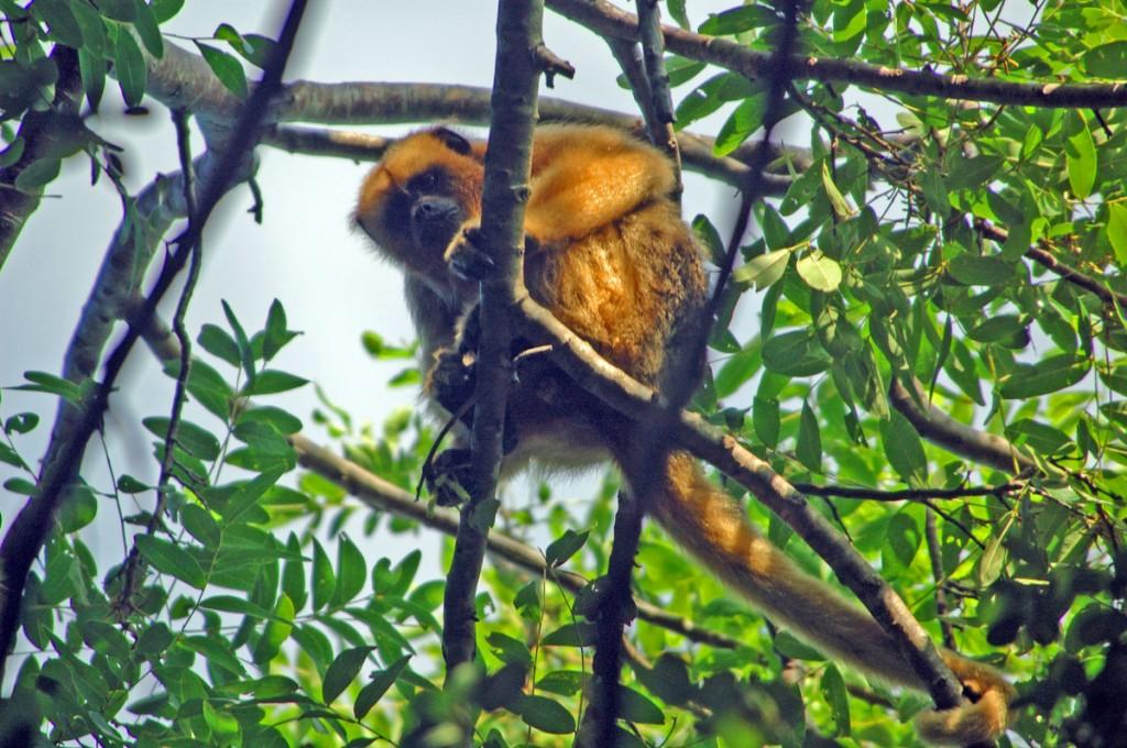 Wildlife Photo: Black Howler Monkey