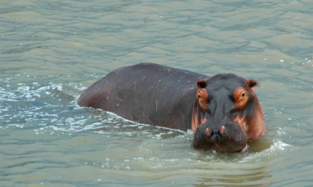 A Hippopotamus in Zambia