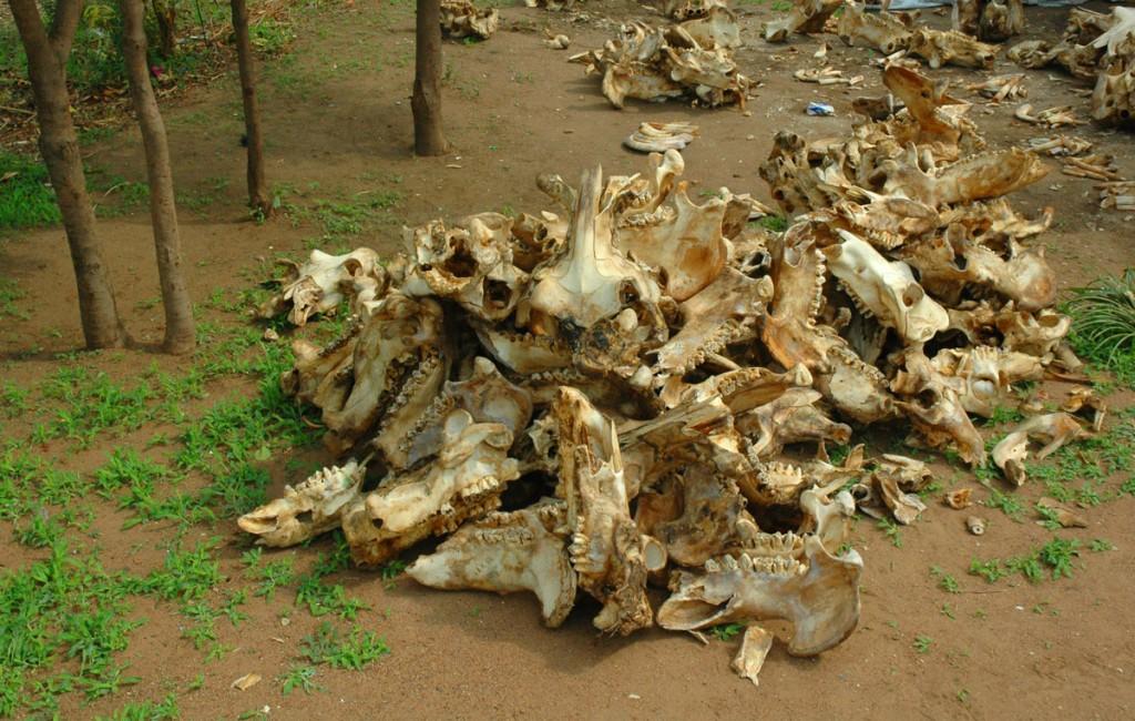 Piles of Hippopotamus bones
