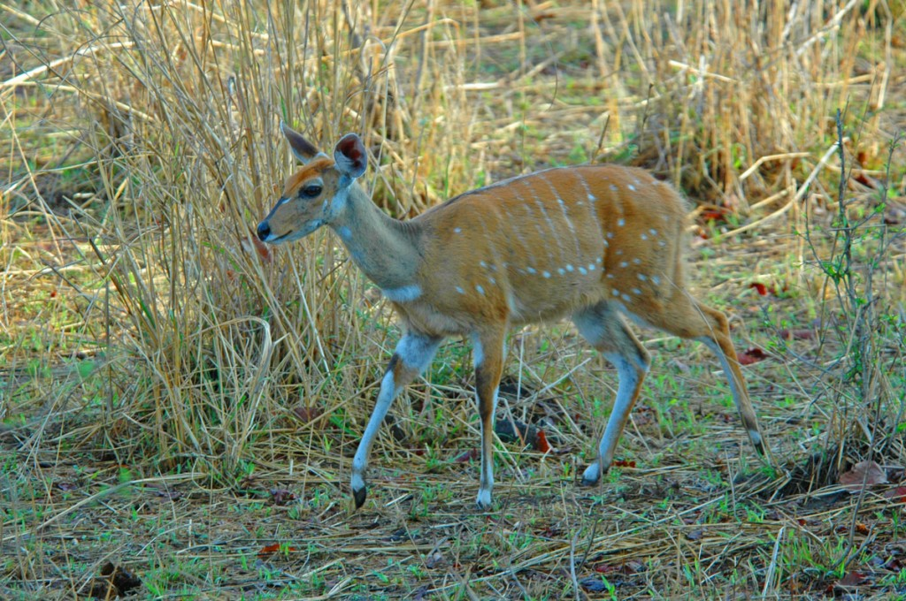 Wildlife Photo: Bushbuck