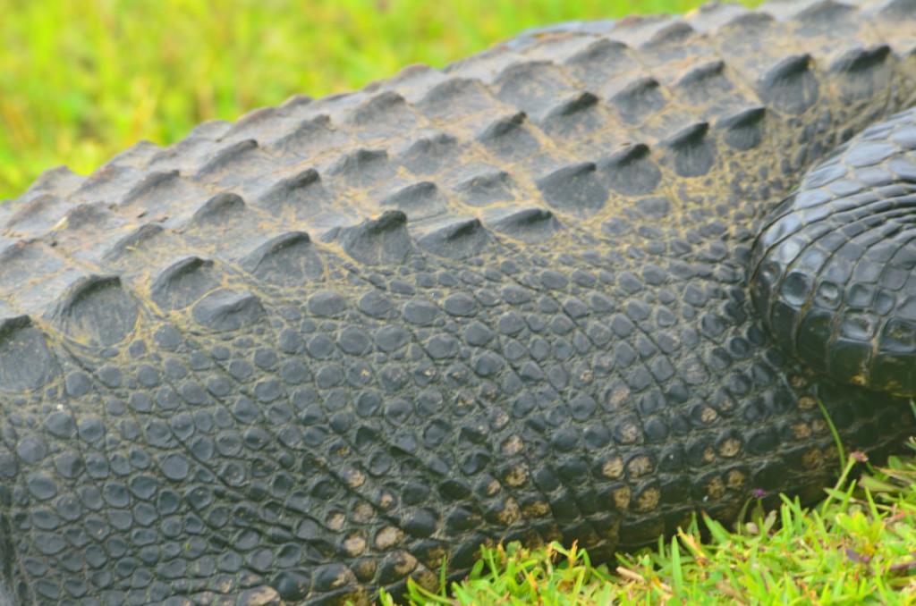 Mmm, Alligator