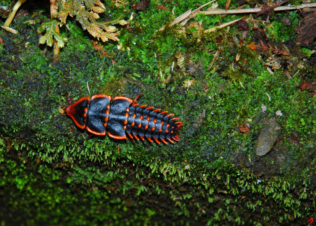 A Borneo bug
