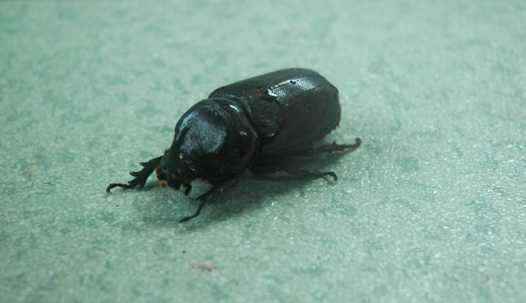 Iban Longhouse Beetle