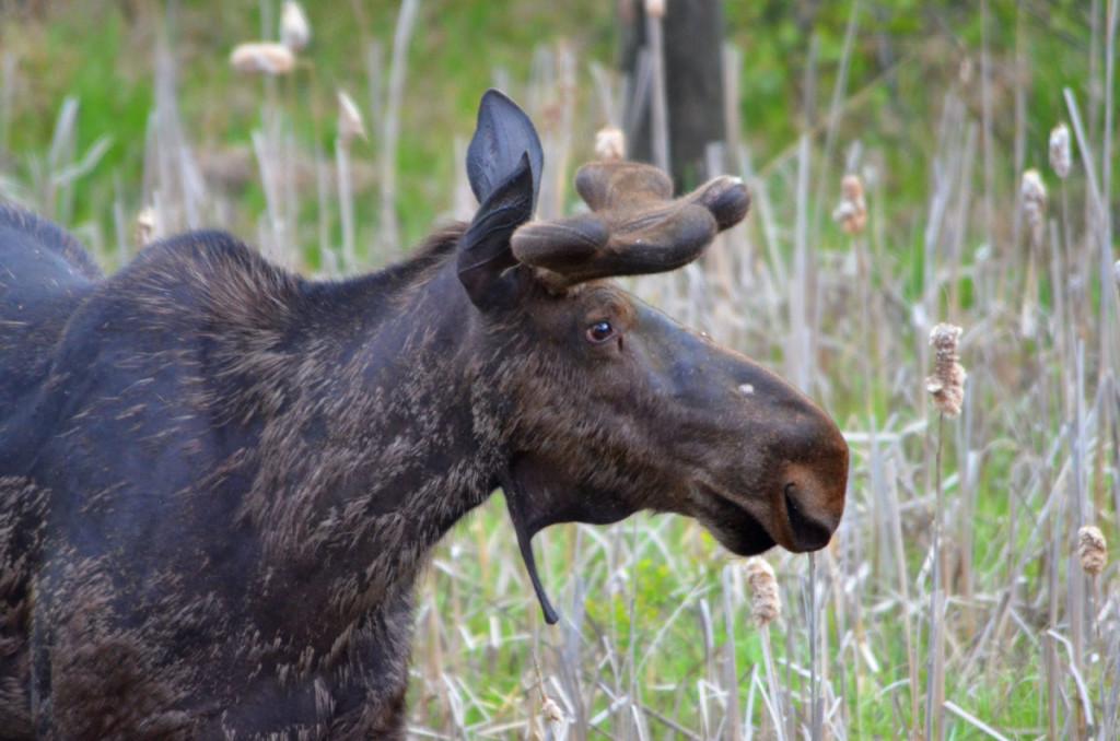 Algonquin Park Moose - Springtime