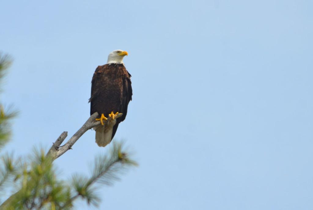 Wildlife Photo: Bald Eagle
