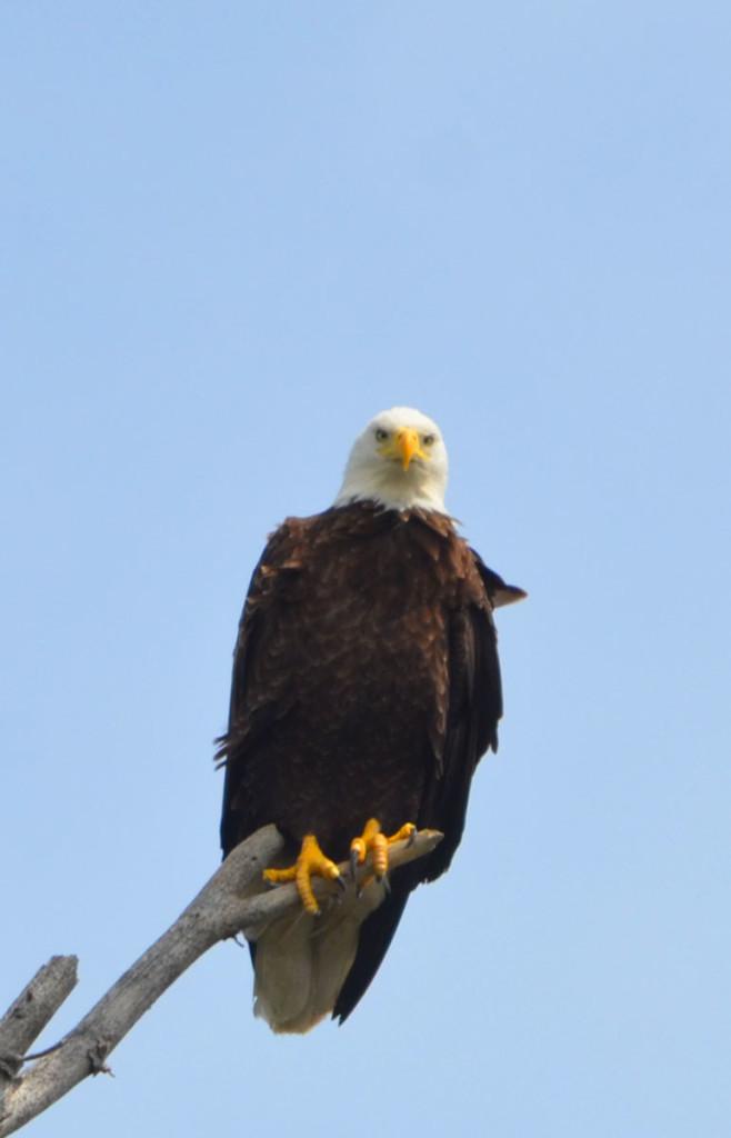 Bald Eagle at Opeongo Lake