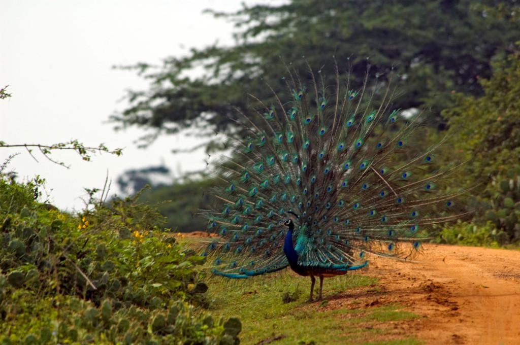 Wildlife Photo: Indian Peacock