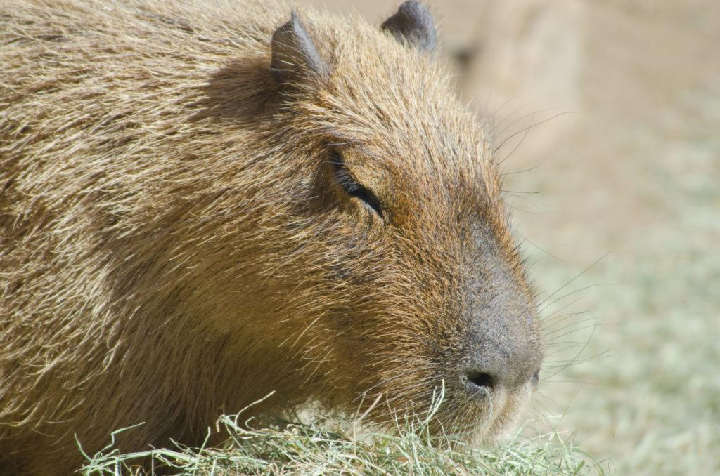 A Capybara Closeup