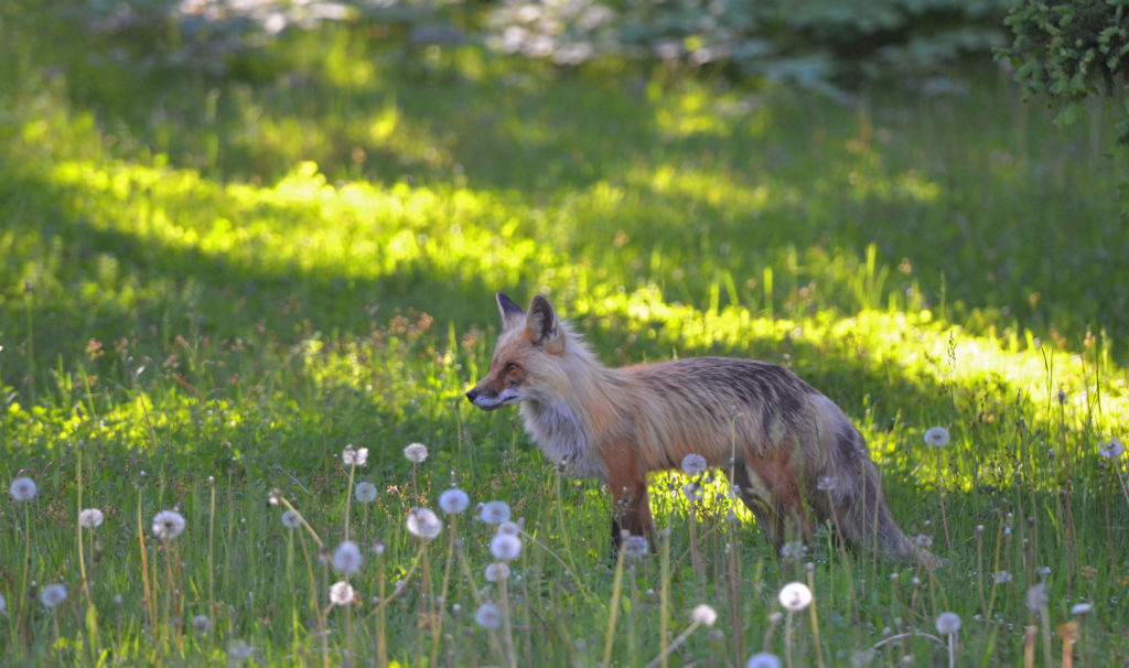 Red Fox in PEI